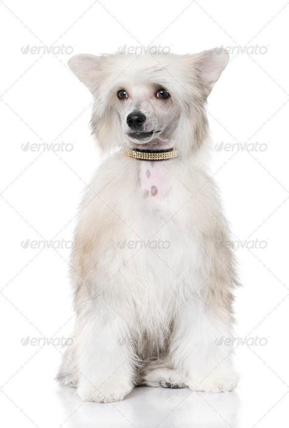 groomed Chinese Crested Dog sitting - Powderpuff (6 month old) - Stock Photo - Images