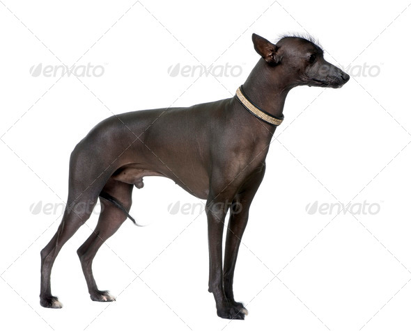 Peruvian Hairless Dog (18 months old) - Stock Photo - Images