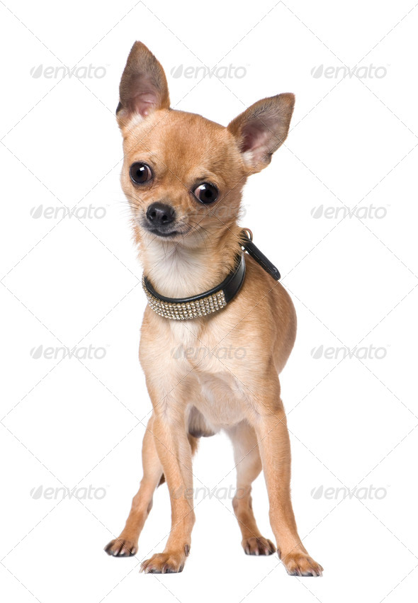 chihuahua (18 months old) - Stock Photo - Images