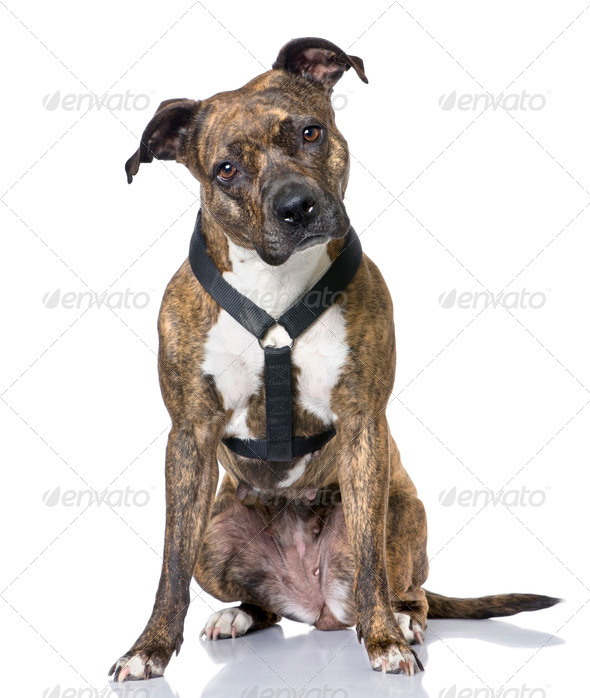 American Staffordshire terrier (4 years old) sitting - Stock Photo - Images