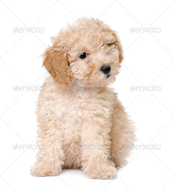 dog : apricot toy Poodle puppy (10 weeks old) - Stock Photo - Images