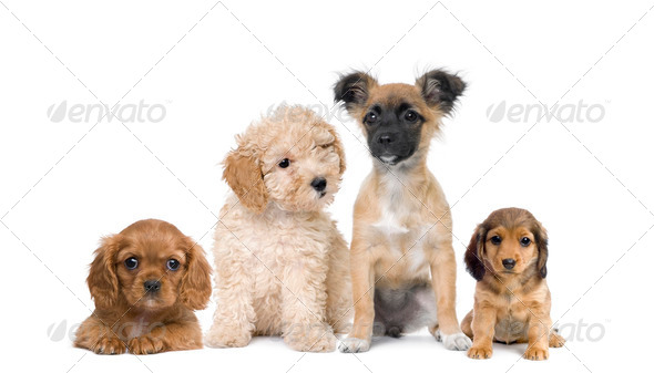 Group of puppy dogs in front of white background, studio shot - Stock Photo - Images