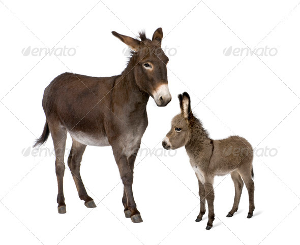 Donkey, 4 years old, and his foal, 2 months old, in front of white background - Stock Photo - Images