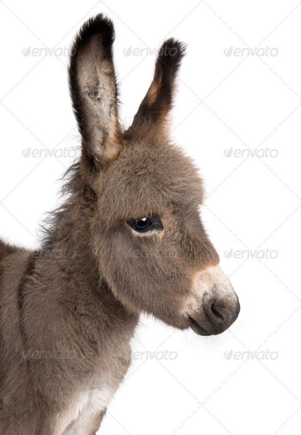 close-up on a donkey foal's head (2 months) - Stock Photo - Images