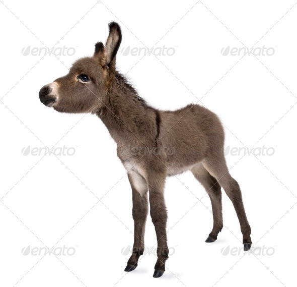 donkey foal (2 months) - Stock Photo - Images
