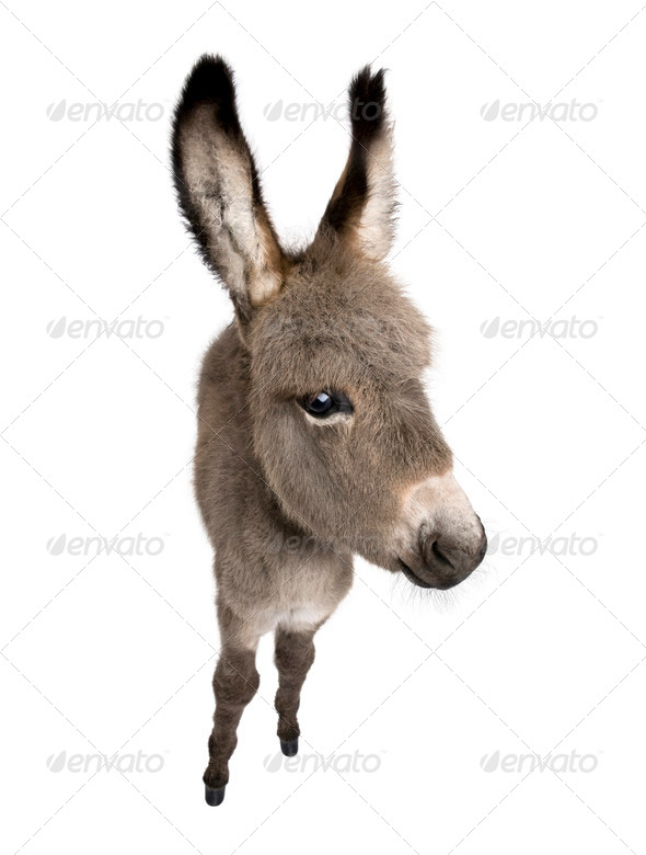 wide-angle view of a donkey foal (2 months) - Stock Photo - Images