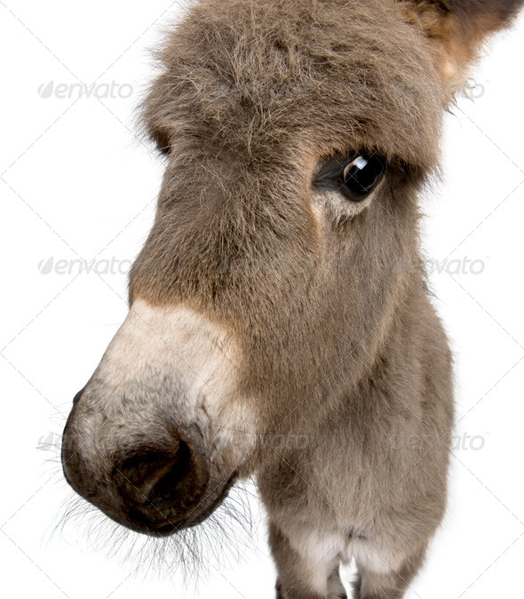 Close-up portrait of donkey foal, 2 months old, against white background, studio shot - Stock Photo - Images