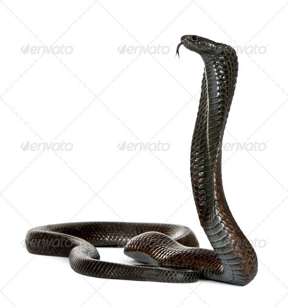 Egyptian cobra - Naja haje - Stock Photo - Images
