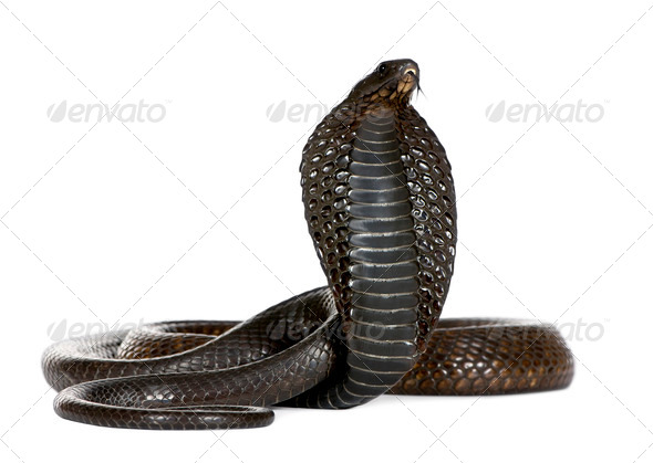 Egyptian Cobra, Naja Haje, studio shot - Stock Photo - Images
