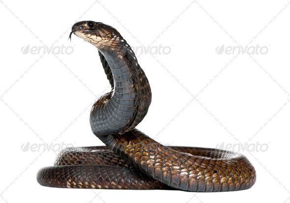 Egyptian cobra - Naja haje - Stock Photo - Images