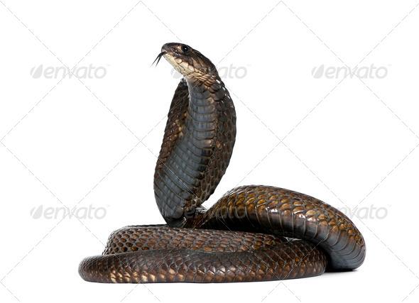 Side view of Egyptian cobra, Naja haje, against white background, studio shot - Stock Photo - Images
