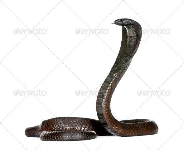 Egyptian Cobra, Naja Haje, studio shot - Stock Photo - Images