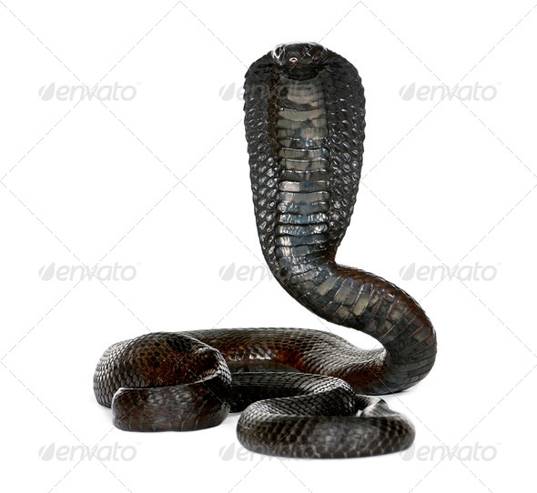 Portrait of Egyptian cobra, Naja haje, against white background, studio shot - Stock Photo - Images