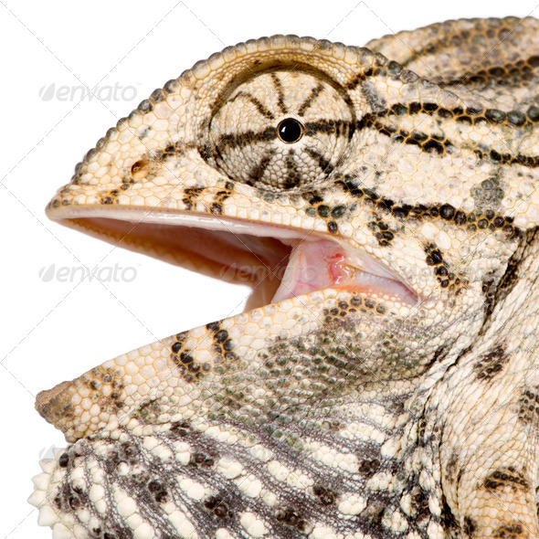 Close-up profile of Chameleon, against white background, studio shot - Stock Photo - Images