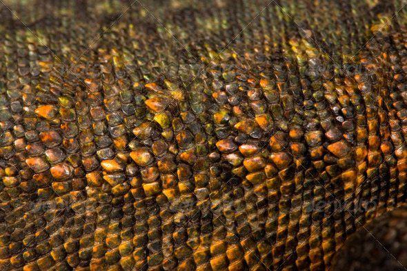 Close-up of Uromastyx's scales - Stock Photo - Images