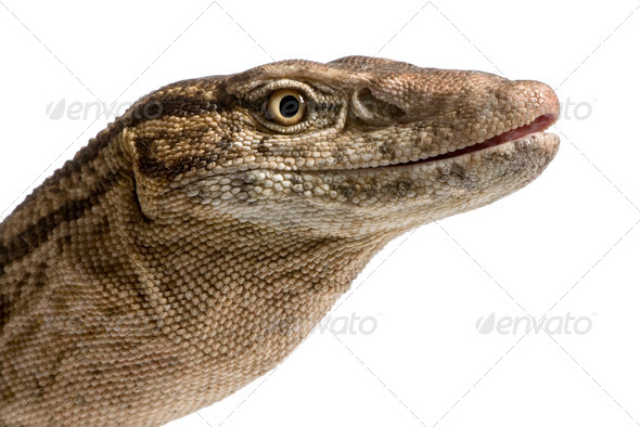 Close-up of Desert Monitor, Varanus griseus griseus, in front of white background - Stock Photo - Images