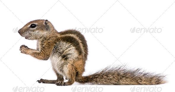 Barbary Ground Squirrel (Atlantoxerus getulus) - Stock Photo - Images