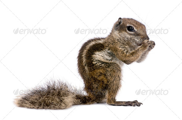 Babary Ground Squirrel, Atlantoxerus Getulus, standing , studio shot - Stock Photo - Images