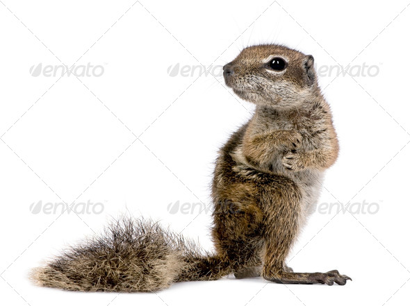 Barbary Ground Squirrel (Atlantoxerus getulus) - Stock Photo - Images