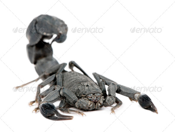 Scorpion  - Androctonus mauretanicus - Stock Photo - Images