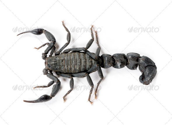 Scorpion (Androctonus mauretanicus) - Stock Photo - Images