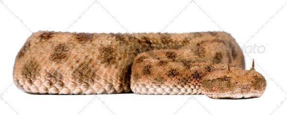 Saharan horned viper - Cerastes cerastes - Stock Photo - Images