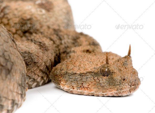 Saharan horned viper - Cerastes cerastes - Stock Photo - Images
