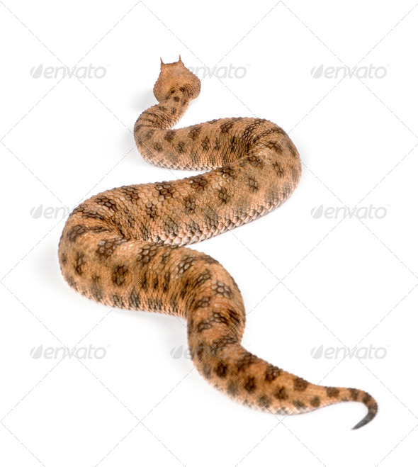 Saharan horned viper, Cerastes cerastes, studio shot - Stock Photo - Images