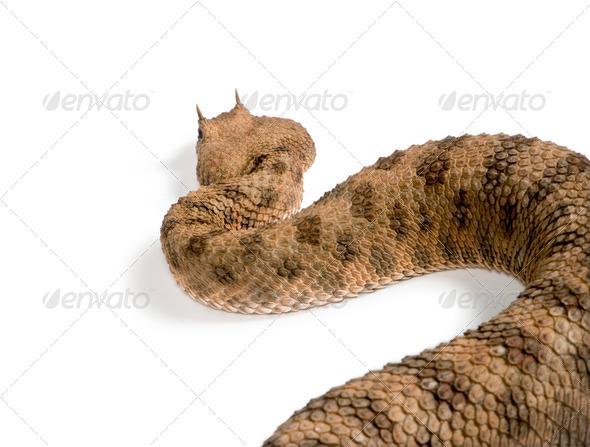 Saharan horned viper (Cerastes cerastes) - Stock Photo - Images