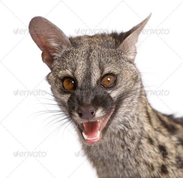 Common Genet (Genetta genetta) - Stock Photo - Images