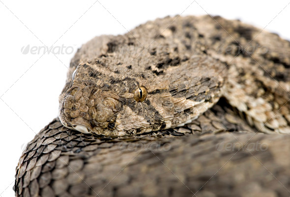 African puff adder - Bitis arietans - Stock Photo - Images