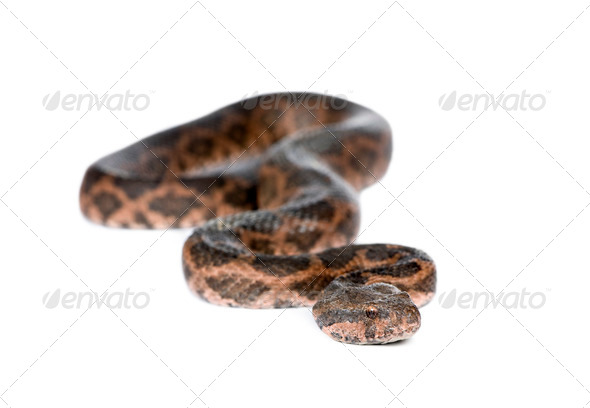 Portrait of slithering snake against white background, studio shot - Stock Photo - Images