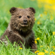 Brown bear cub playing on the summer field. - PhotoDune Item for Sale