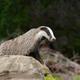 Badger near its burrow - PhotoDune Item for Sale