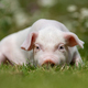 Young funny pig on a green grass - PhotoDune Item for Sale