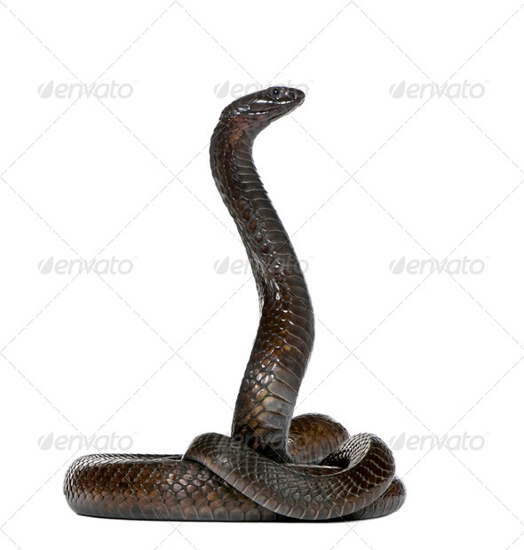 Egyptian cobra (Naja haje) - Stock Photo - Images