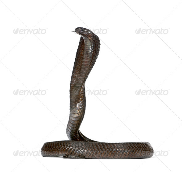 Side view of Egyptian cobra, Naja haje, against white background, studio shot - Stock Photo - Images
