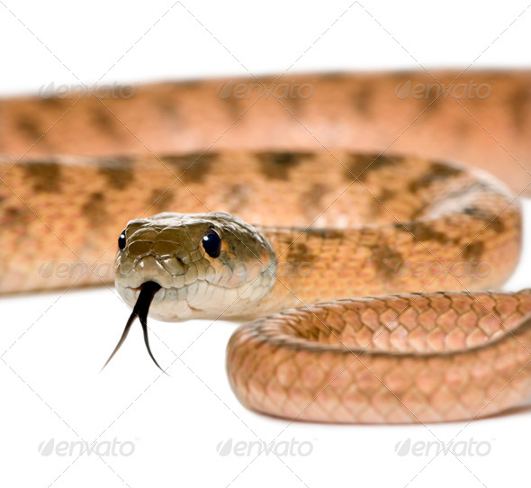 Close-up of Rat snake, Hemorrhois algirus, against white background, studio shot - Stock Photo - Images