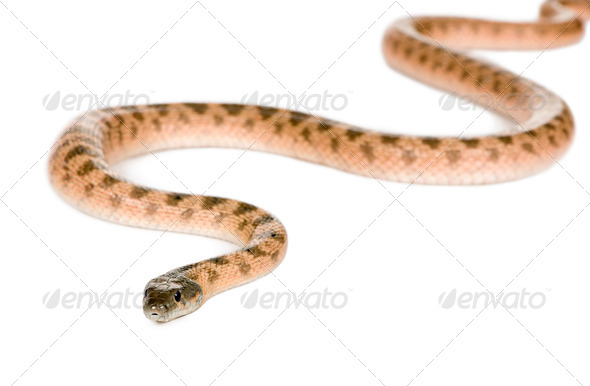 Rat snake, Hemorrhois algirus, against white background, studio shot - Stock Photo - Images