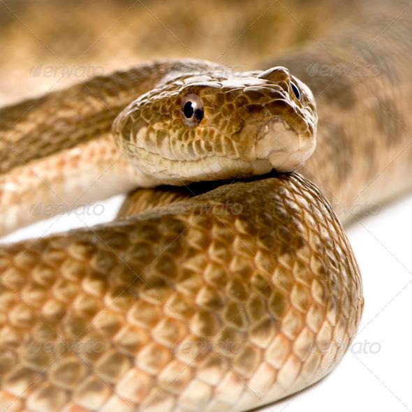 Close-up of rat snake, Malpolon Monspessulanus, studio shot - Stock Photo - Images