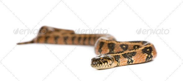 Green Whip Snake or Western Whip Snake (Hierophis viridiflavus) - Stock Photo - Images
