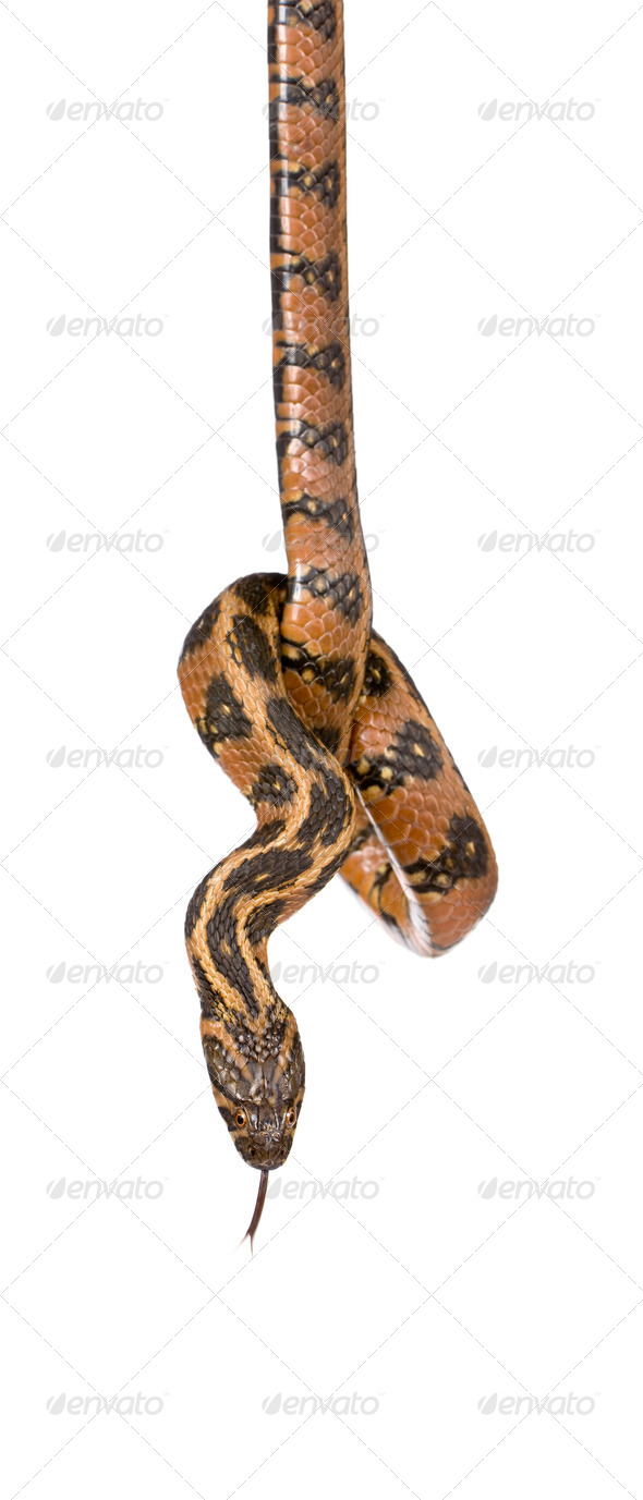Green Whip Snake, Hierophis viridiflavus, against white background, studio shot - Stock Photo - Images