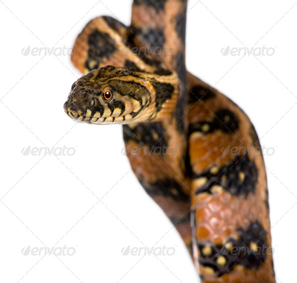 Coluber snake, coluber veridiflavus, in front of white background, studio shot - Stock Photo - Images