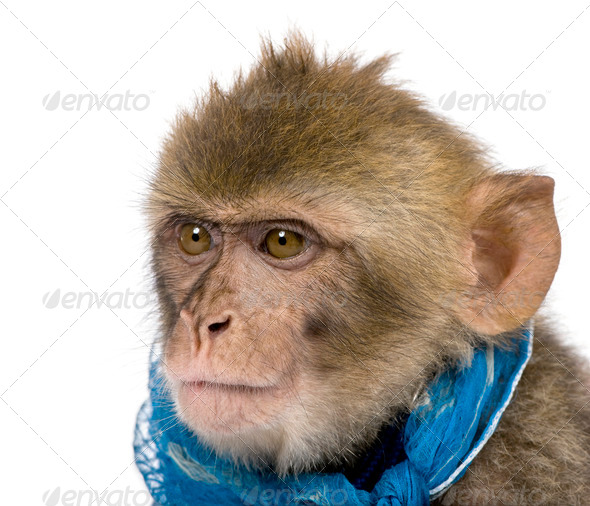 Young Barbary Macaque, Macaca Sylvanus, 1 year old, studio shot - Stock Photo - Images