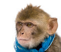 Young Barbary Macaque, Macaca Sylvanus, 1 year old, studio shot - PhotoDune Item for Sale