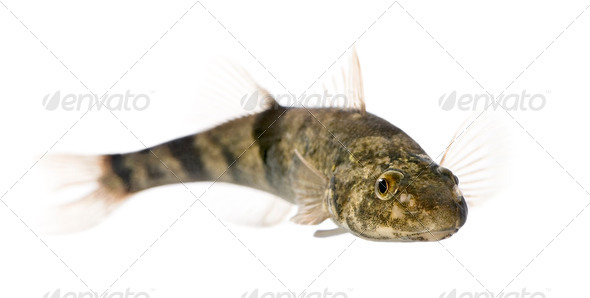 Rhone streber fish, Zingel asper, against white background, studio shot - Stock Photo - Images