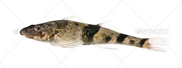 Side view of rhone streber fish, Zingel asper, against white background, studio shot - Stock Photo - Images