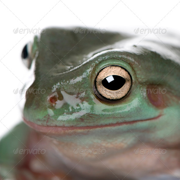 Close-up of Australian Green Tree Frog, Litoria caerulea, studio shot - Stock Photo - Images