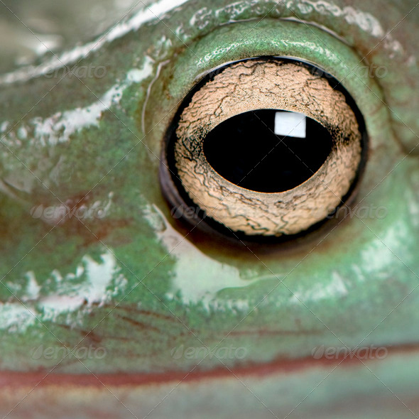 Close-up of Australian Green Tree Frog, Litoria caerulea - Stock Photo - Images