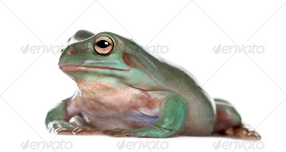 Side view of Australian Green Tree Frog, Litoria caerulea, against white background, studio shot - Stock Photo - Images